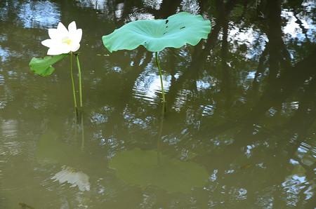 晩夏の蓮池