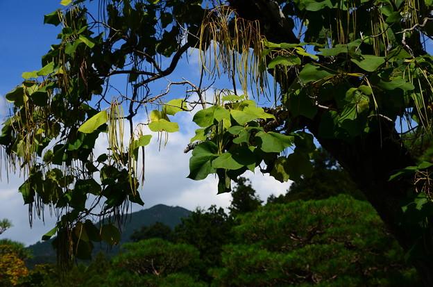 山門前の木大角豆(キササゲ)