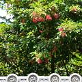 Photos: 珊瑚樹(サンゴジュ)