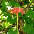 芙蓉の根元に咲く彼岸花