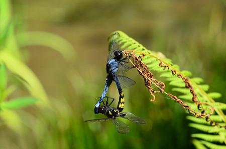 大塩辛蜻蛉のカップル