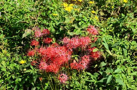 賀茂川の彼岸花と菊芋