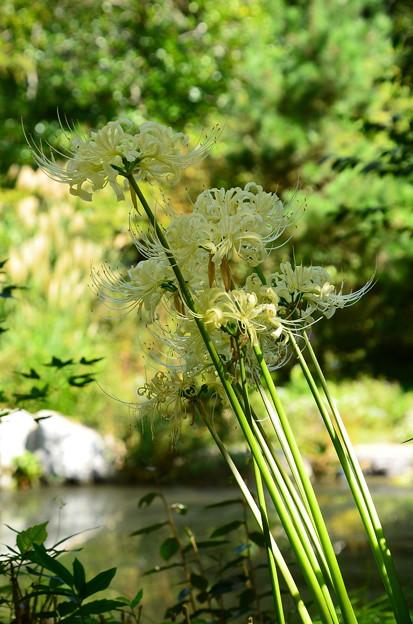 琵琶湖畔の白花彼岸花