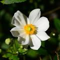 Photos: 我が家の秋明菊
