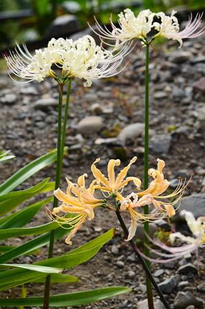 白花彼岸花と鍾馗水仙