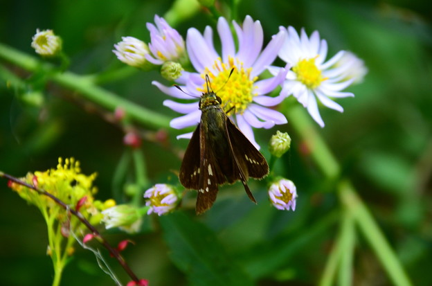 紫苑に止まるイチモンジセセリ