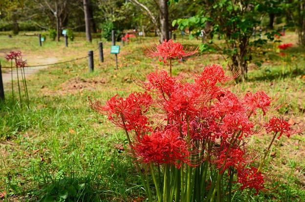 桜の苑の彼岸花
