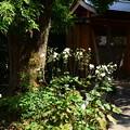 Photos: 秋明菊咲く天寧寺