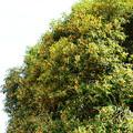 満開の金木犀(キンモクセイ)