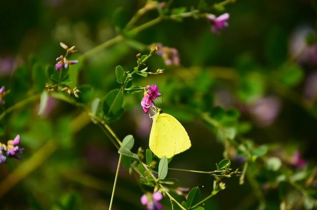 萩に止まる黄蝶(キチョウ)