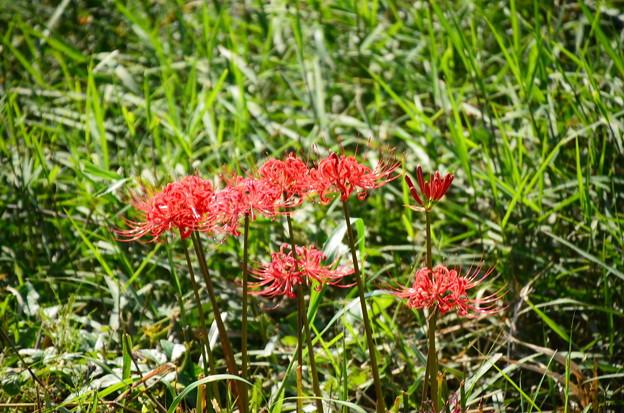 賀茂川の彼岸花