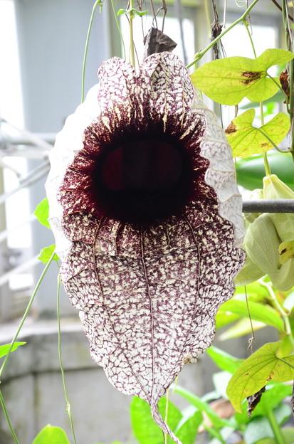 ペリカン花(ペリカンバナ)