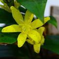 黄花の杜鵑(キバナノホトトギス)