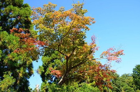 会津墓地脇の紅葉