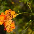黄花秋桜で揺れるツマグロヒョウモン