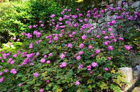 満開の秋明菊(シュウメイギク)