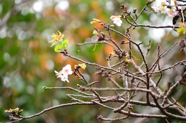 金木犀の前に咲く寒桜(カンザクラ)