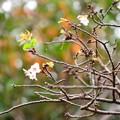 Photos: 金木犀の前に咲く寒桜(カンザクラ)