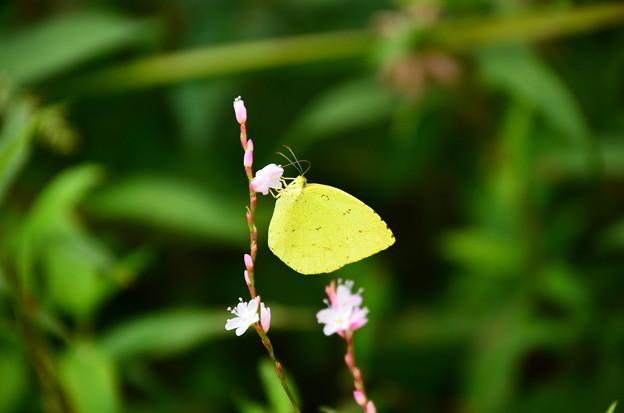 桜蓼に止まる黄蝶(キチョウ)