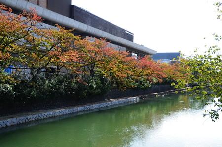 疎水沿いの桜もみじ