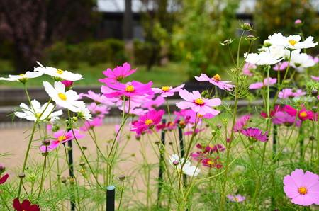 北山門脇の秋桜(コスモス)