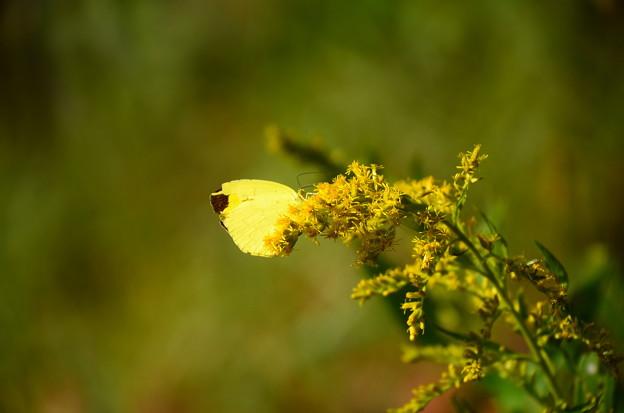 背高泡立草に止まる黄蝶(キチョウ)