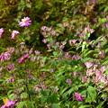Photos: 秋明菊と杜鵑