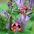 Photos: 杜鵑の前に吊り花(ツリバナ)