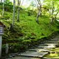 Photos: 緑の中の石蕗(ツワブキ)