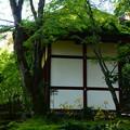 Photos: 仁王門脇の石蕗(ツワブキ)