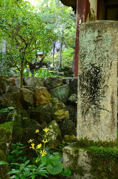 仁王門前の石蕗(ツワブキ)