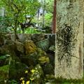 Photos: 仁王門前の石蕗(ツワブキ)