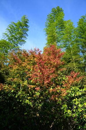 竹と紅葉と秋空と