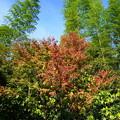 Photos: 竹と紅葉と秋空と