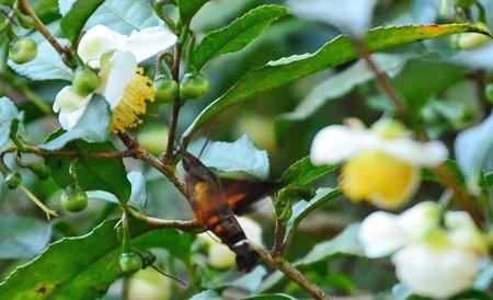 お茶のお花にもホシホウジャク