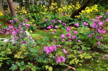 秋明菊と石蕗