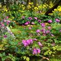 Photos: 秋明菊と石蕗