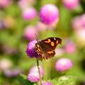 冬の蝶現る