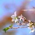 Photos: 四季桜(シキザクラ)