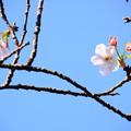 Photos: 寒桜(カンザクラ)