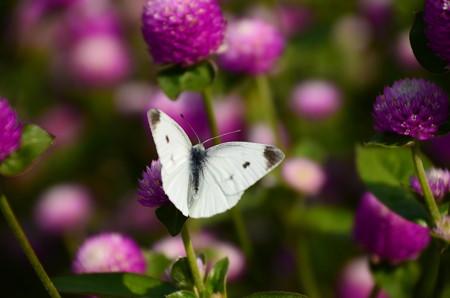 千日紅の中の紋白蝶(モンシロチョウ)