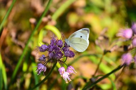 玉紫に止まる紋白蝶(モンシロチョウ)