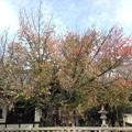 Photos: 少し色づいた桜