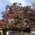 Photos: 本満寺のもみじ