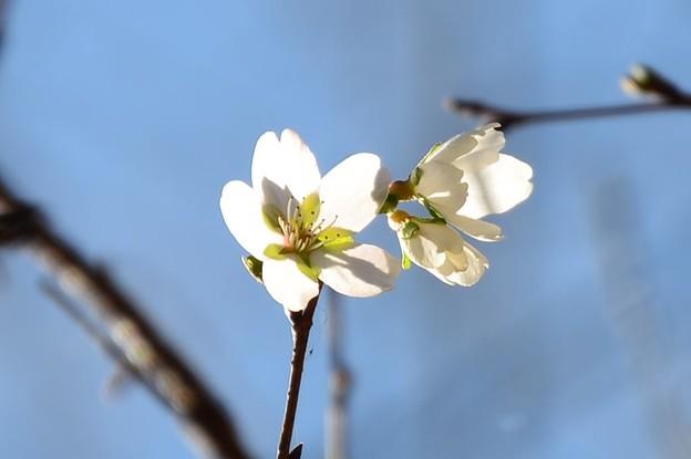 八瀬橋たもとの四季桜(シキザクラ)