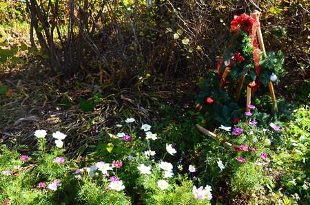 クリスマス飾りと秋桜