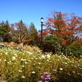 Photos: 秋桜と紅葉
