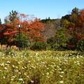 Photos: 紅葉と秋桜