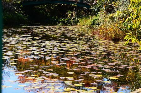 モネの池の色づき