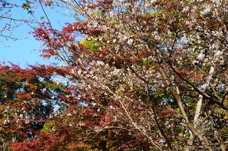 色づき始めたもみじと四季桜(シキザクラ)